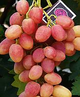 Саженцы винограда Юбилей Новочеркасска (привитые)