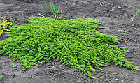 Ялівець горизонтальний Prince of Wales 3 річний, Можжевельник горизонтальный Принц Уэльский, Juniperus