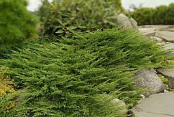 Ялівець горизонтальний Prince of Wales 4 річний, Можжевельник горизонтальный Принц Уэльский, Juniperus, фото 2