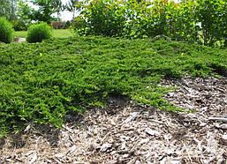 Ялівець горизонтальний Prince of Wales 4 річний, Можжевельник горизонтальный Принц Уэльский, Juniperus, фото 3