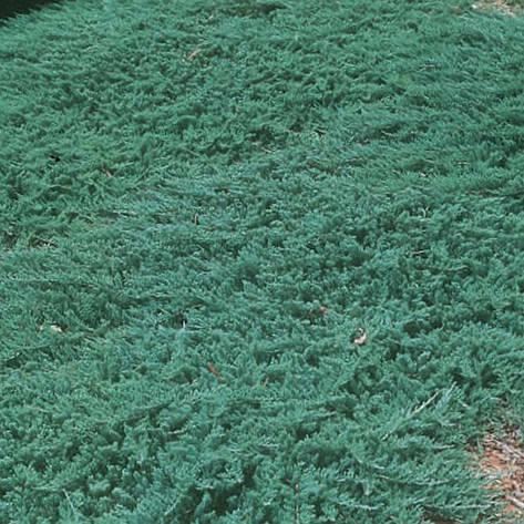 Ялівець горизонтальний Wiltonii 3 річний, Можжевельник горизонтальный Вилтони Juniperus horizontalis Wiltonii , фото 2