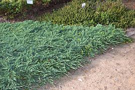 Ялівець горизонтальний Wiltonii 4 річний, Можжевельник горизонтальный Вилтони Juniperus horizontalis Wiltonii, фото 3