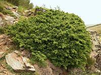 Ялівець звичайний, Можжевельник обыкновенный, Juniperus communis