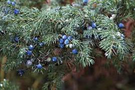 Ялівець звичайний, Можжевельник обыкновенный, Juniperus communis  , фото 3
