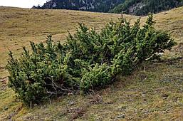 Ялівець звичайний, Можжевельник обыкновенный, Juniperus communis  , фото 2