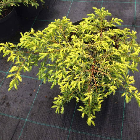 Ялівець звичайний Depressa Aurea 3 річний, Можжевельник обыкновенный Депресса Ауреа, Juniperus Depressa Aurea, фото 2