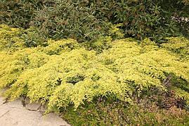 Ялівець звичайний Depressa Aurea 3 річний, Можжевельник обыкновенный Депресса Ауреа, Juniperus Depressa Aurea, фото 3