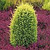 Ялівець звичайний Gold Cone 3 річний, Можжевельник обыкновенный Голд Кон, Juniperus communis Gold Cone