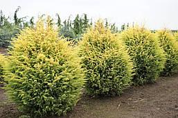 Ялівець звичайний Gold Cone 3 річний, Можжевельник обыкновенный Голд Кон, Juniperus communis Gold Cone , фото 2