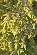 Ялівець звичайний Gold Cone 3 річний, Можжевельник обыкновенный Голд Кон, Juniperus communis Gold Cone , фото 3
