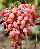 Саженцы винограда Преображение (корнесобственные)