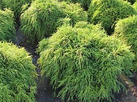 Кипарисовик горіхоплідний Filifera Nana 3 річний, кипарисовик горохоплодный Филифера Нана, Chamaecyparis, фото 2
