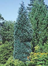 Кипарисовик Лавсона Pelt's Blue 3 річний, Кипарисовик Лавсона Пельтс Блю Chamaecyparis lawsoniana Pelt's Blue , фото 3
