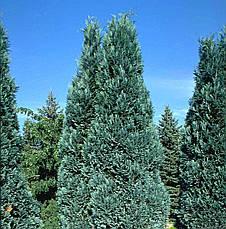 Кипарисовик Лавсона Alumii 3 річний, Кипарисовик Лавсона Алюми, Chamaecyparis lawsoniana Alumii, фото 2
