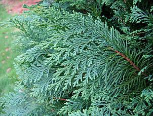Кипарисовик Лавсона Alumii 3 річний, Кипарисовик Лавсона Алюми, Chamaecyparis lawsoniana Alumii, фото 3