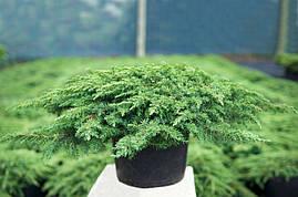 Ялівець звичайний Green Carpet 4 річний Можжевельник обыкновенный Грин Карпет Juniperus communis Green Carpet , фото 3