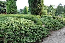 Ялівець звичайний Green Carpet 4 річний Можжевельник обыкновенный Грин Карпет Juniperus communis Green Carpet , фото 2