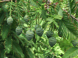 Метасеквоя гліптостробусова 3 річна 60-80см, Метасеквойя глиптостробоидная, Metasequoia glyptostroboides, фото 2