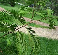 Метасеквоя гліптостробусова 3 річна 60-80см, Метасеквойя глиптостробоидная, Metasequoia glyptostroboides, фото 3