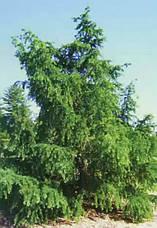 Модрина японська 3 річна, Лиственница японская, Larix kaempferi / leptolepis, фото 2