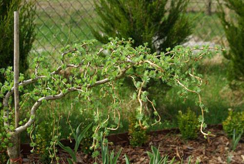 Модрина японська Diana на штамбі, Лиственница японская Диана на штамбе, Larix leptolepis / kaempferi Diana, фото 2