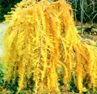 Модрина японська Pendula на штамбі 2-2,3м, Лиственница японская Пендула (плакучая)на штамбе, Larix kaempferi, фото 2
