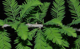 Таксодіум дворядний (кипарис болотний) 2 річний,, фото 3