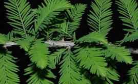 Таксодіум дворядний(кипарис болотний), фото 3