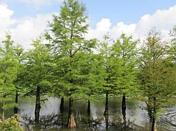 Таксодіум дворядний(кипарис болотний), фото 2