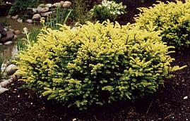 Тис ягідний Elegantissima 3 річний, Тис ягодный  Элегантиссима, Taxus baccata Elegantissima , фото 2