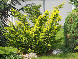 Тис ягідний Elegantissima 3 річний, Тис ягодный  Элегантиссима, Taxus baccata Elegantissima , фото 3