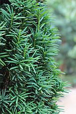 Тис ягідний Fastigiata 3 річний, Тис ягодный Фастигиата, Taxus baccata Fastigiata, фото 3