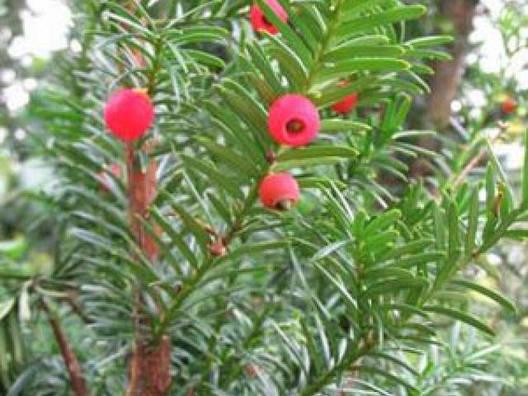 Тис ягідний Rogov, Тис ягодный Рогов, Taxus baccata Rogov, фото 2