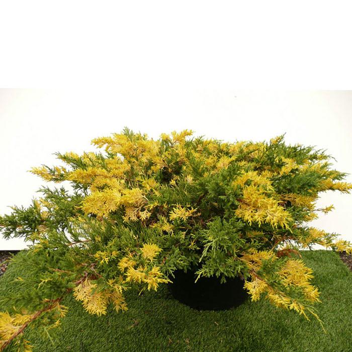 Ялівець китайський Expansa Variegata 3 річний, Можжевельник китайский Экспанса Вариегата, Juniperus chinensis