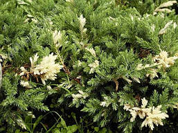 Ялівець китайський Expansa Variegata 3 річний, Можжевельник китайский Экспанса Вариегата, Juniperus chinensis, фото 3