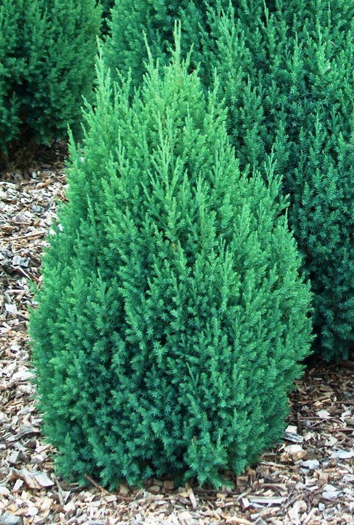 Ялівець китайський Stricta 3 річний, Можжевельник китайский Стрикта, Juniperus chinensis Stricta