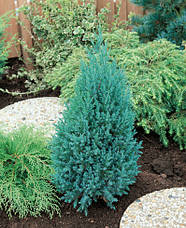 Ялівець китайський Stricta 4 річний, Можжевельник китайский Стрикта, Juniperus chinensis Stricta, фото 3