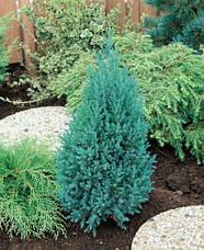 Ялівець китайський Stricta 3 річний, Можжевельник китайский Стрикта, Juniperus chinensis Stricta , фото 2