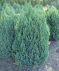 Ялівець китайський Stricta 3 річний, Можжевельник китайский Стрикта, Juniperus chinensis Stricta , фото 3