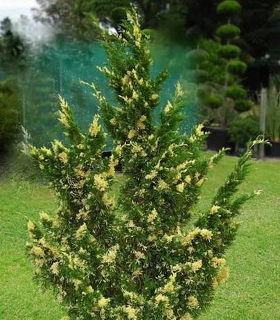 Ялівець китайський Stricta Variegata 3 річний, Можжевельник китайский Стрикта Вариегата, Juniperus chinensis, фото 2