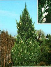 Ялівець китайський Stricta Variegata 3 річний, Можжевельник китайский Стрикта Вариегата, Juniperus chinensis, фото 3