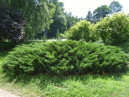 Ялівець козацький, Ялівець козацький, Juniperus sabina, фото 2