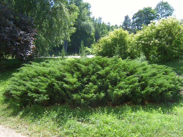 Ялівець козацький, Ялівець козацький, Juniperus sabina