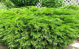 Ялівець козацький, Ялівець козацький, Juniperus sabina, фото 3