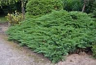 Ялівець козацький Tamariscifolia 3 річний Можжевельник казацкий Тамарисцифолия Juniperus sabina Tamariscifolia