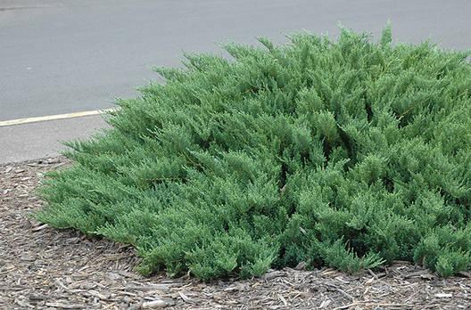 Ялівець козацький Tamariscifolia 3 річний, Можжевельник казацкий Тамарисцифолия Juniperus sabina Tamariscifolia, фото 2