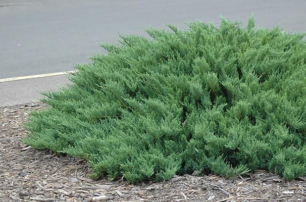 Ялівець козацький Tamariscifolia 3 річний, Можжевельник казацкий Тамарисцифолия Juniperus sabina Tamariscifolia