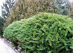 Ялівець козацький Tamariscifolia 3 річний, Можжевельник казацкий Тамарисцифолия Juniperus sabina Tamariscifolia, фото 3