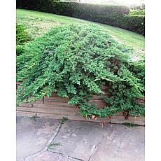 Ялівець лежачий Nana 3 річний, Можжевельник лежачий Нана, Juniperus procumbens Nana , фото 2