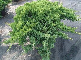 Ялівець лежачий Nana 3 річний, Можжевельник лежачий Нана, Juniperus procumbens Nana , фото 3